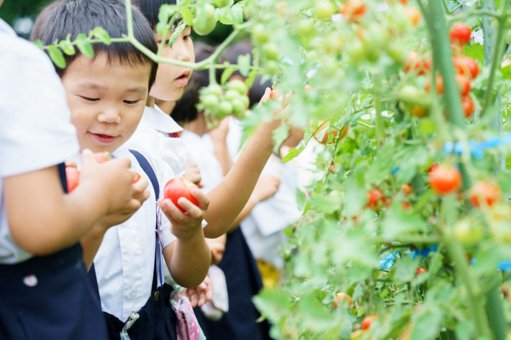 トマトを収穫する子どもたち〈写真〉